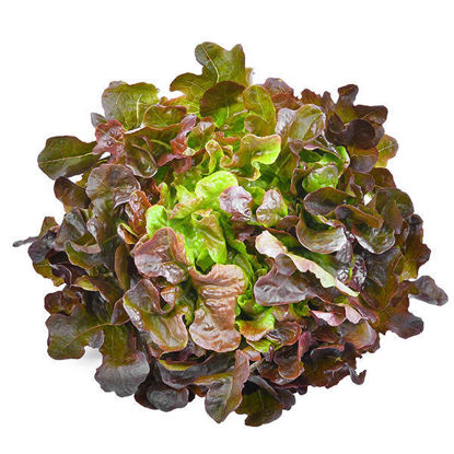 Lettuce - Oak Leaf (Fr) - Box