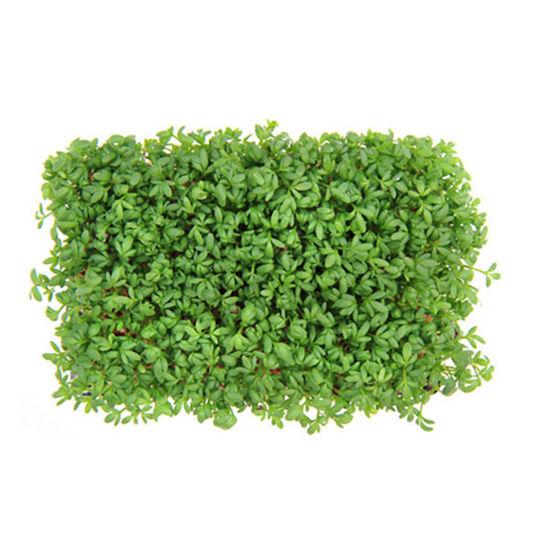 Watercress - Box